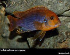 Iodotropheus sprengerae.JPG (488×381)