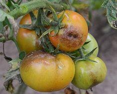 You searched for - Sfaturi pentru casă și grădină Plants, Tomato, Garden, Persimmon