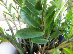 """Zz Plant Zanzibar Gem (zamioculcas zamiifolia): We went back and looked at your photo again, after realizing how """"orderly"""" the new leaves are on the stem to the far right. Instead of the traditional rubber tree, we are now convinced this is a new houseplant, called ZZ plant or Zanzibar Gem (Zamioculcas zamiifolia). It's only been in on the market the last 10 years or so. Leaves are tough and thick, and have virtually no leaf stems (the little stems that attach the leaf to the main stem)…"""