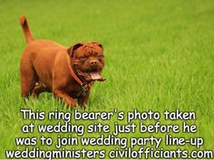 RING BEARER SPOTTED JUST BEFORE CEREMONY #Wedding #Weddings #RingBearers #WeddingDogs #WeddingPlanning #WeddingPets
