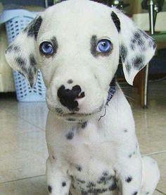 Blue eyed dalmatian