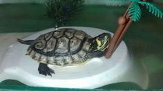 Mi tortuga hembra aquien le guste la tortugas k porfsvor darle a me gusta porque me pongo contenta porque mi tortugs esta mala :|
