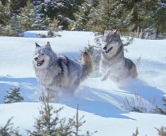 Wolves In The Snow by Takoya-Utonagan on deviantART
