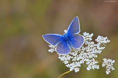 Niebieski, Motyl, Motylek, Białe, Kwiatki