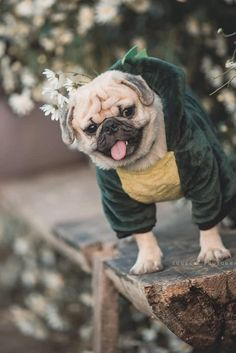 Discover additional information on Pugs. Take a look at our web site. Wild Animals Pictures, Pug Pictures, Pug Wallpaper, Funny Animals, Cute Animals, Pugs And Kisses, Baby Pugs, Lap Dogs, Best Dog Breeds