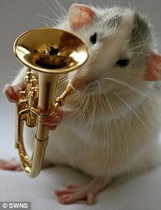 All rat jazz: Playing an accordion and trumpet is just a run on the wheel for these rodents  Read more: http://www.dailymail.co.uk/news/article-1201765/Look-laurels-Bob-Geldof-come-real--Boomtown-rats.html#ixzz2f7KFcznJ  Follow us: @MailOnline on Twitter | DailyMail on Facebook