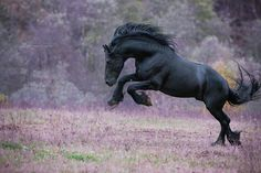 Black horse coming back down from being on two hind legs. Most Beautiful Horses, All The Pretty Horses, Animals Beautiful, Friesian Horse, Appaloosa, Black Horses, Wild Horses, Clydesdale, Sublime Creature
