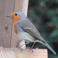 Oiseaux - Rouge-gorge familier - Erithacus rubecula - Sur un mangeoire à Courcouronnes