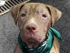 Manhattan NY.  Baxter.  10 mths.  Dies in a.m.  See Urgent Part 2 on fb.***RESCUED***