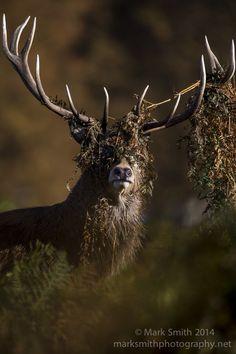 Red Deer, a bit of headdress  Flickr