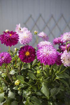 Slik steller du georginer | Stelletips fra Mester Grønn Garden, Flowers, Plants, Garten, Lawn And Garden, Gardens, Plant, Gardening, Royal Icing Flowers