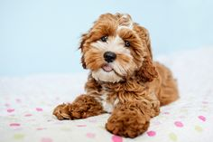 Tessa the Cockapoo Puppy by Happy Tails Photography