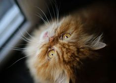 Animal Animals Artwork Cat Cats Cute Decor Decoration Fur Home Kitten Orange Cats, Cat Posters, Desktop Pictures, Ginger Cats, Fluffy Cat, Domestic Cat, Animal Wallpaper, Close Up, Persian