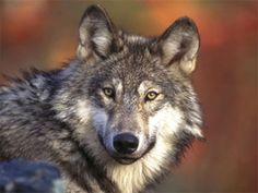 Appeals court lifts federal protections for Wyoming wolves; disappoints environmental group