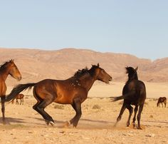 Le Cheval de Namibie - Le Cheval de Namibie qui se chamaille
