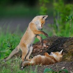 Two young, orange foxes playing in the wilderness together.