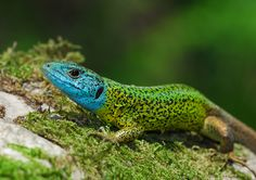 Lacerta schreiberi , lagarto-de-água - Actualmente, a espécie é alvo de várias acções de conservação com o endemismo, aumenta a responsabilidade. É relativamente fácil ver e reconhecer o lagarto-de-água: a sua cabeça azul, o corpo verde e a longa cauda são inconfundíveis.