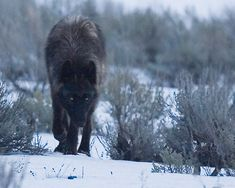 Black Wolf Pack | Black Wolf - Canyon Pack, Yellowstone NP