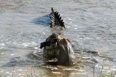 Unforgiving environment: The crocodile appears to have snatched the hippo while its mother...