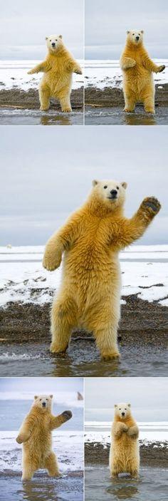 This Polar Bear can dance!