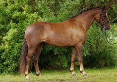 Birkilds Bueno-New Forest Pony