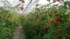Raspberries in glashouse