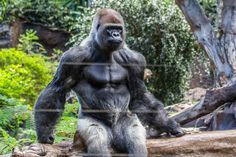 Who would win in a fight if Arnold Schwarzenegger, Bruce Lee, and Sylvester Stallone with knuckle dusters team up in their prime versus a silverback gorilla? Animals Of The World, Animals And Pets, Strongest Animal, Silverback Gorilla, Tardigrade, Magnificent Beasts, Ape Monkey, Animal Coloring Pages, Image Manga