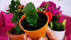Kalanşo Çiçeğinin 3 Farklı Yöntemle Çoğaltımı - YouTube Kalanchoe Flowers, Baby Knitting Patterns, Houseplants, Aloe, Succulents, Planter Pots, Youtube, Gardening, Gardens