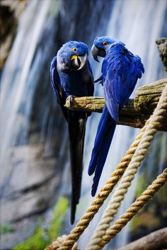 Hyacinth Macaws  photo #parrots