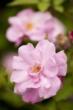 Morning Eye Candy: China rose 'Old Blush' Unknown hybridizer, before 1752