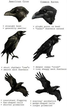 American Crow vs Common Raven Corneille d'Amérique vs grand corbeau The Crow, Crow Or Raven, Pet Raven, Love Birds, Beautiful Birds, Beautiful Creatures, Quoth The Raven, Raven Art, Raven Totem