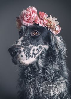 A beautiful English Setter with a flower crown. Portrait by Pouka Fine Art Pet Portraits.