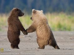 Grizzle bear cubs holding hands. #baby #animal
