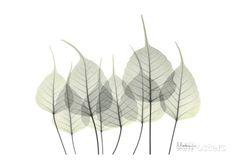 Bodhi Tree Leaves in Green Prints by Albert Koetsier at AllPosters.com