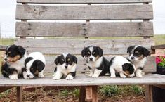 Corgipoo Puppies Fall Litter - Oswald Vineyard Corgi Poodle, Corgi Mix, Other Ways To Say, New Tricks, This Is Us, Cute Animals, Puppies, Fall, Dogs