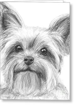 Yorkshire Terrier Drawing Greeting Card by Kate Sumners