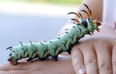 Spike, the Hickory Horned Devil caterpillar, was found by Logan Darland, 9, in the front yard of his house in July 2004 in Kentucky. The caterpillar is the larva of the Royal Walnut Moth, also known as the Regal Moth.
