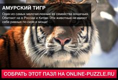 Один из самых малочисленных из семейства кошачьих. Обитают на в России и Китае. Эти животные не имеют себе равных по силе и мощи! #пазл #играонлайн #интересныефакты