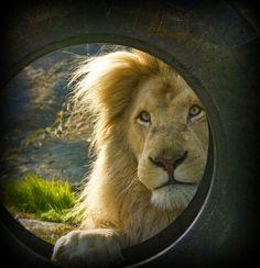 ~~Peek-a-Boo ! - Casper the White Lion ~~