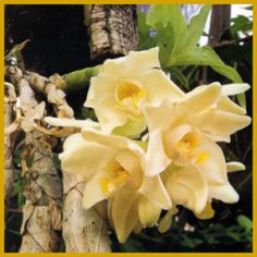 orchideenzucht orchideen kann man ausgezeichnet im keller ziehen orchideen pinterest. Black Bedroom Furniture Sets. Home Design Ideas
