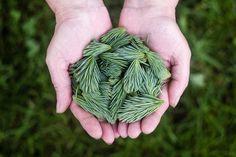 Holding fresh pine