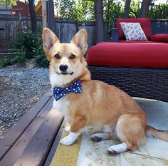 White/Red & Blue Polka Dot Bow Tie and Collar for Pets Polka Dot Bow Tie, Blue Polka Dots, Bow Ties, Red And Blue, Dog Cat, Corgi, Bows, Animals, Arches