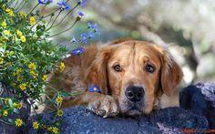 Bild Hunderasse Golden Retriever auf einem Hintergrund von Blumen.