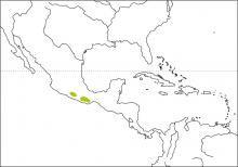 White-collared Jay Cyanolyca viridicyanus - Google Search