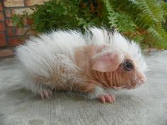 skinny pig Cute Creatures, Beautiful Creatures, Reptiles, Mammals, Animal Pictures, Cute Pictures, Skinny Pig, Pig Stuff, Cute Guinea Pigs
