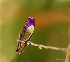costa's hummingbird  (photo by miary andria)
