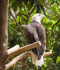 America's Pride...Bald Eagle