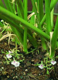 Cardamom plants with flowering shoots    Photo: Ben-Erik van Wyk