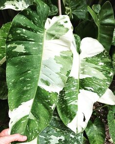 Fun And Eco-Helpful Solutions To Remodel Your Yard Nse Tropicals - The Collector's Plant Source - Rare Anthuriums, Philodendrons, And Other Unusual Plants Unusual Plants, Exotic Plants, Tropical Plants, Fake Plants, Cool Plants, Indoor Plants, Big House Plants, Trees To Plant, Plant Leaves