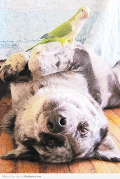 Quaker parrot with canine pal